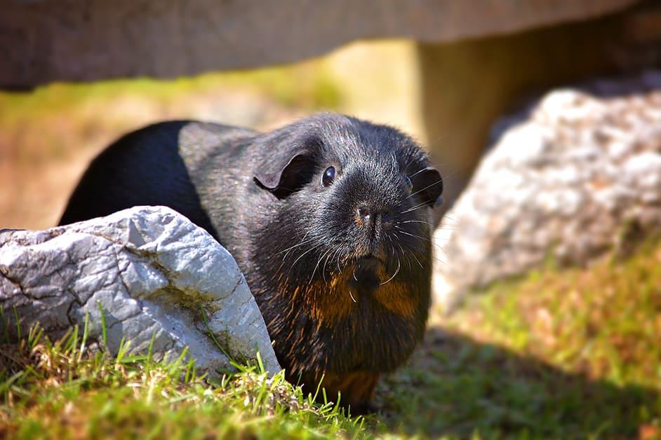 aussenhaltung sommer meerschweinchen