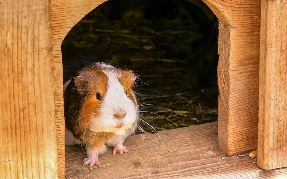 schutzhaus meerschweinchen
