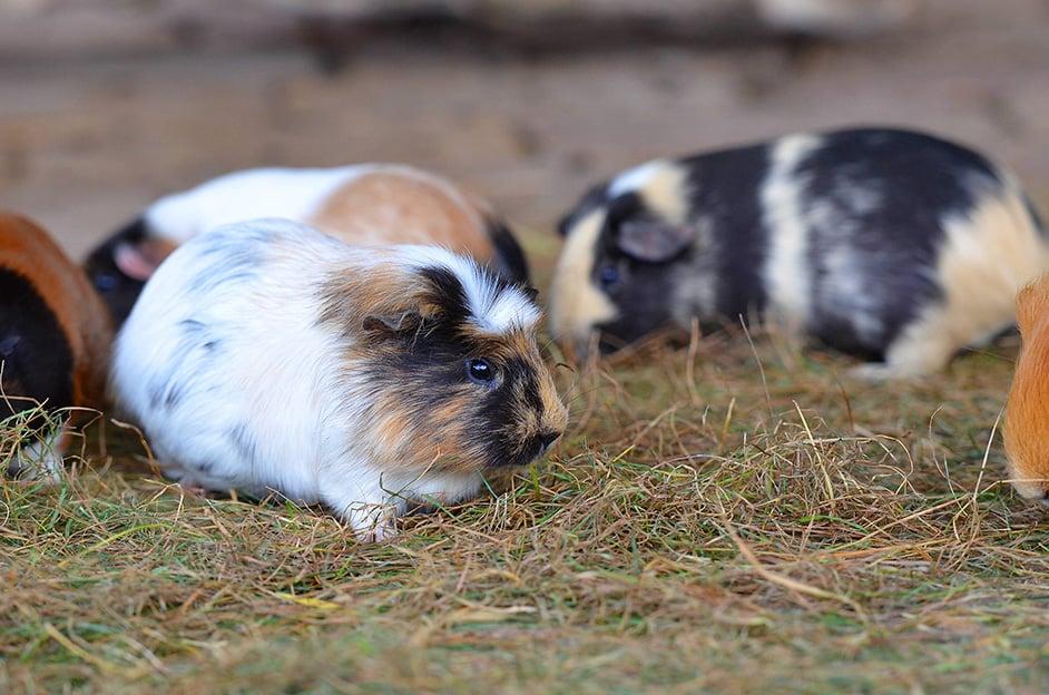 aussenhaltung meerschweinchen