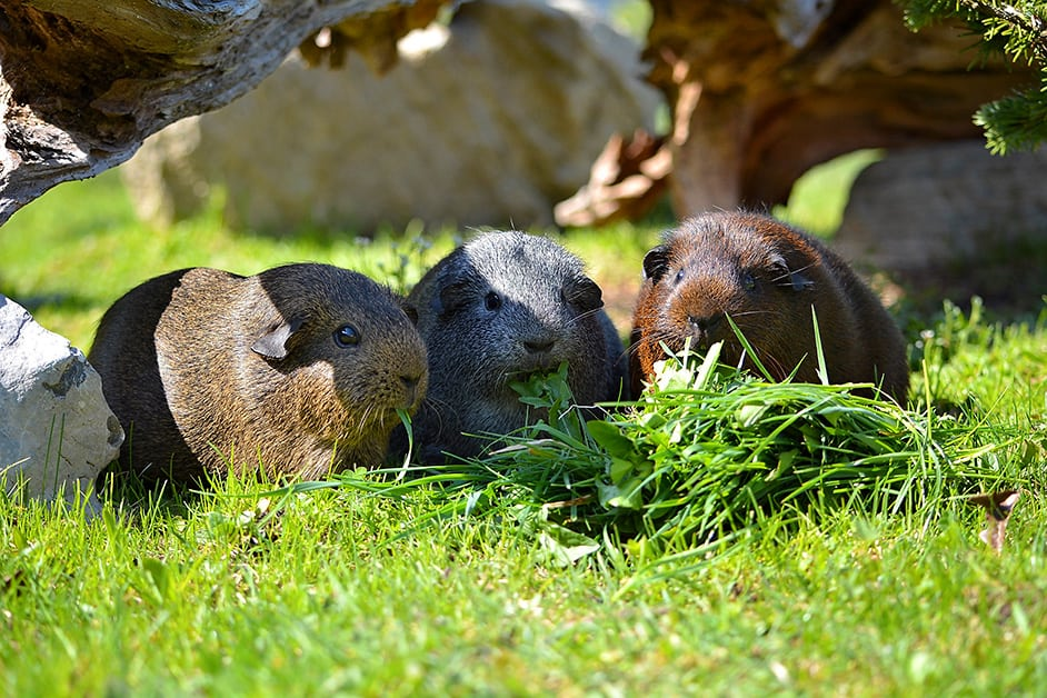 einrichtung meerschweinchengehege