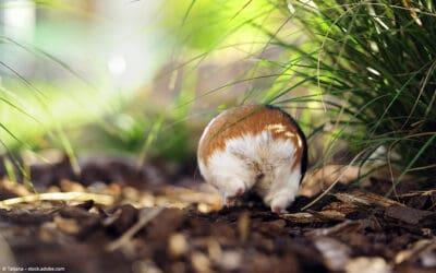 Meerschweinchen Einstreu – Welcher ist der beste Bodengrund?