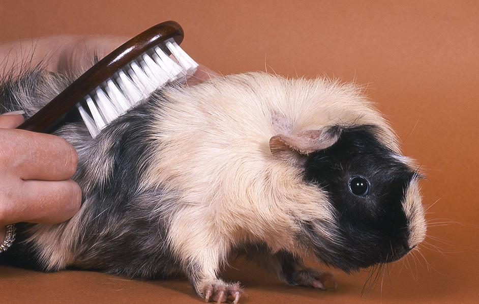 fellpflege meerschweinchen
