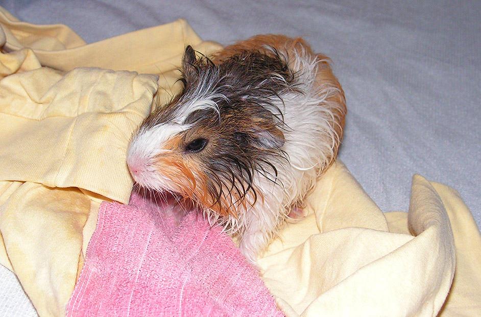 meerschweinchen baden