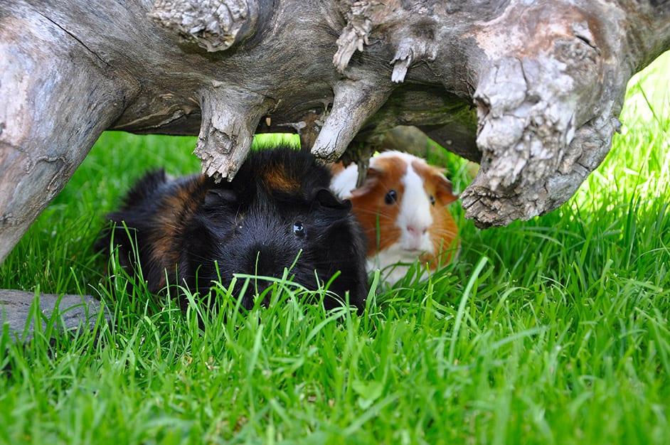 meerschweinchen häuschen