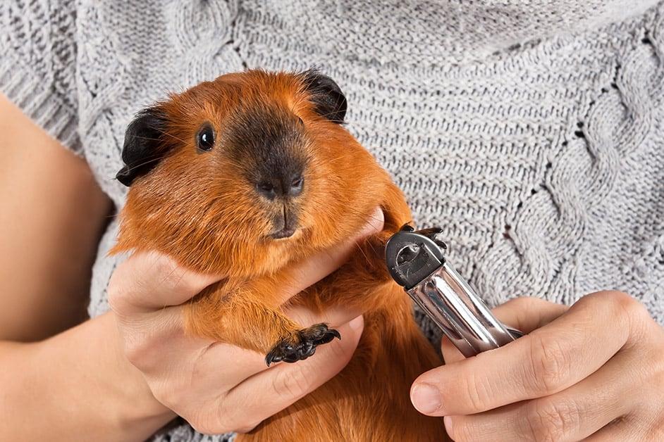 meerschweinchen pflege