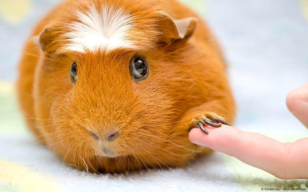 Richtige Meerschweinchen Pflege: So bleiben deine Meeris gesund