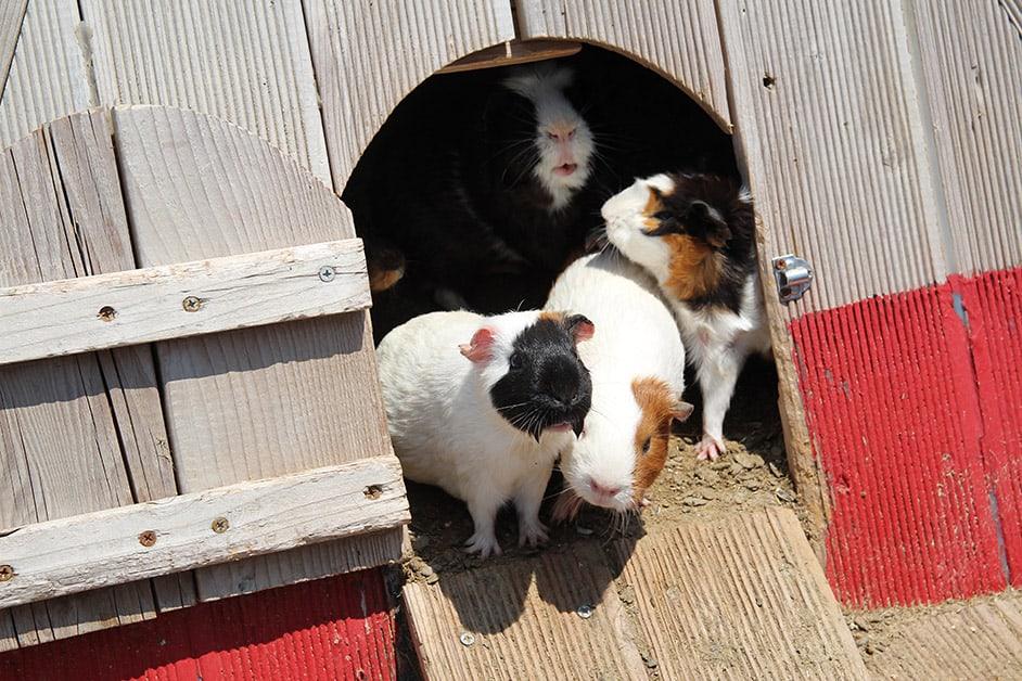 meerschweinchen schutzhuette