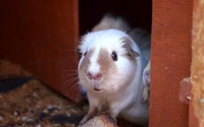 Meerschweinchen Stall: Die besten Schutzhäuser für Draussen