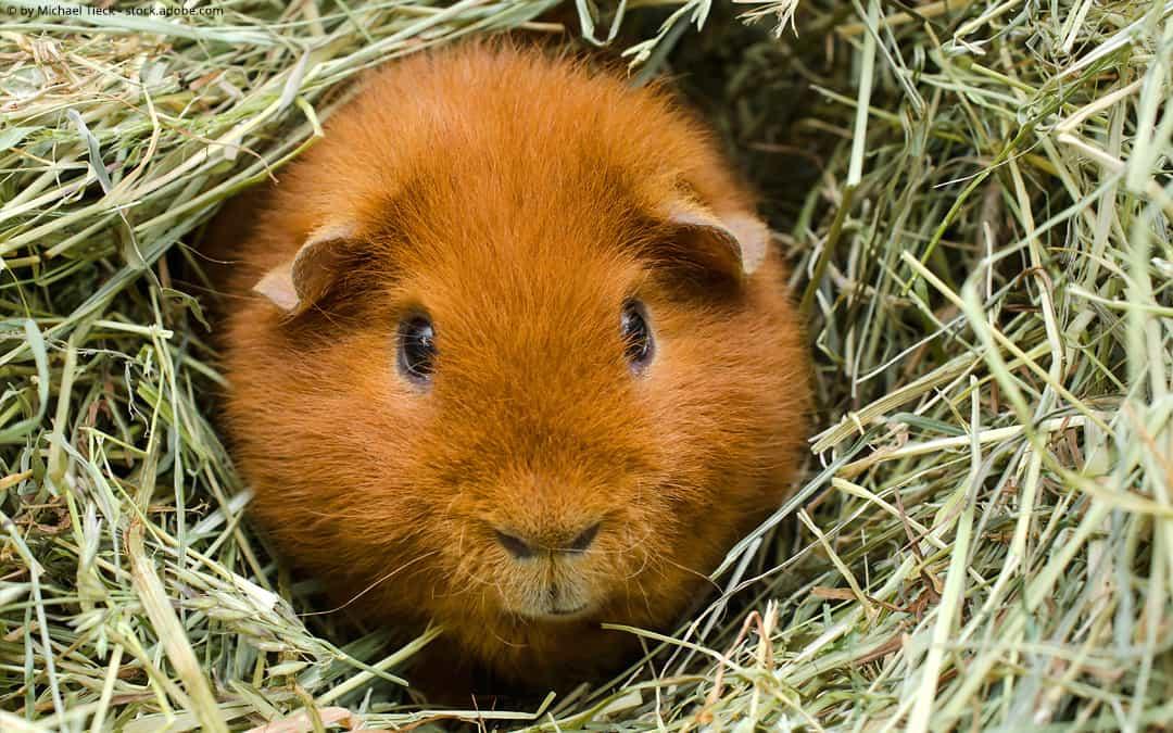 Meerschweinchen Ernährung: Heu und Trockenkräuter