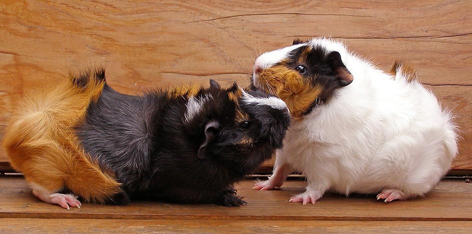 meerschweinchen quieken