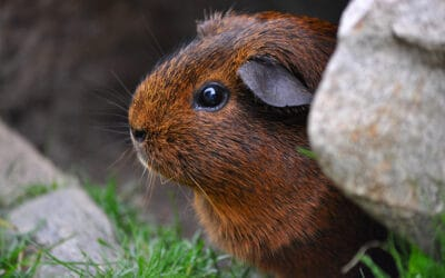 Meerschweinchen Steckbrief: Allgemeines über die kleinen Nager