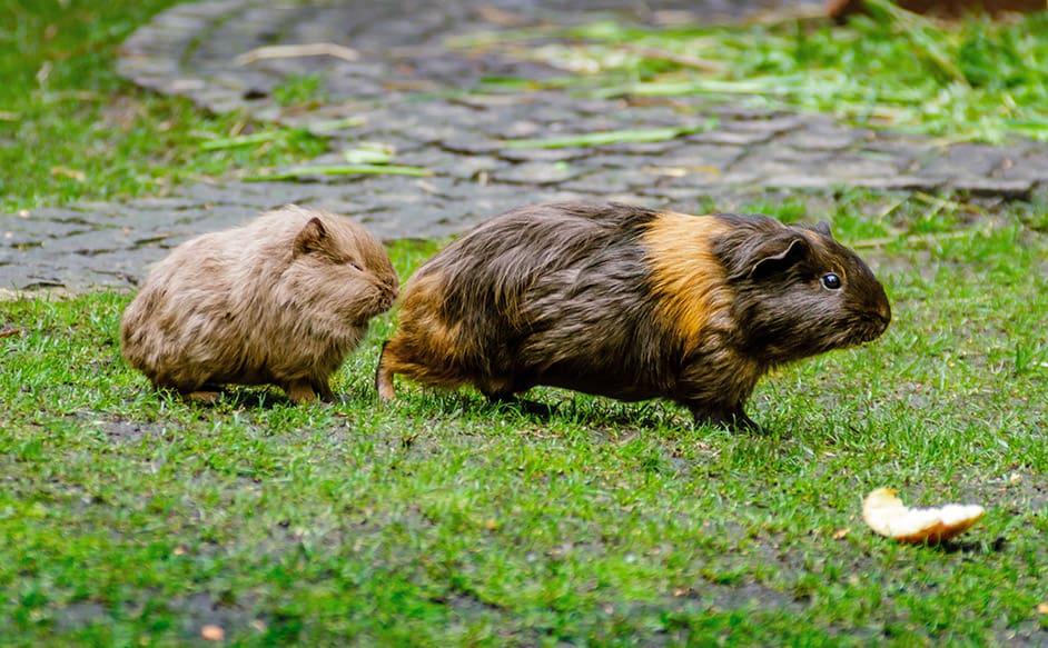 meerschweinchen verhalten